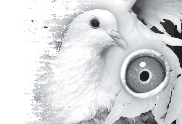 02赛鸽速度线 眼志 与竞翔的关系